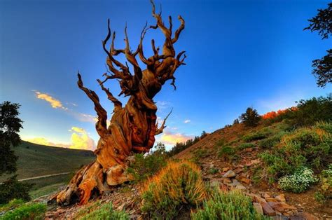 9 Photos of the Oldest Trees on the Planet, Older Than the
