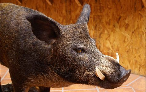 BOAR PICTURES, PICS, IMAGES AND PHOTOS FOR YOUR TATTOO