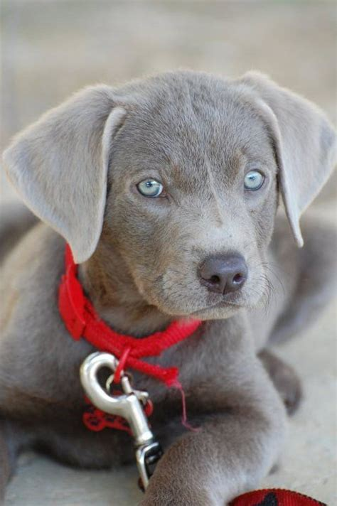 CUTE ALERT! 16 Of The Cutest Labrador Puppy Pictures Ever