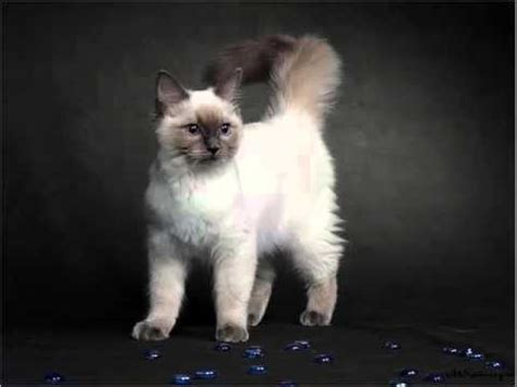 Birman Kitten   Set Of Cat Picture Collection - YouTube