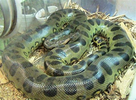 List of largest snakes - Wikipedia