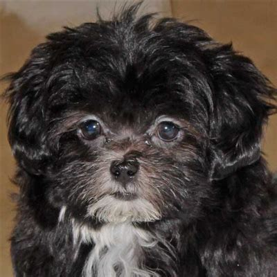 Malshi-Poo Puppy for Sale in Boca Raton, South Florida